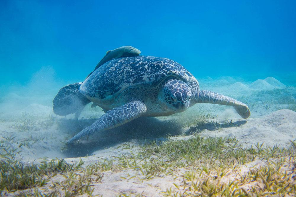 Meerjungfrauen-Camp und Unterwasser-Modelling-Reise - Mermaid Week Ägypten - Schwimmen mit Schildkröten